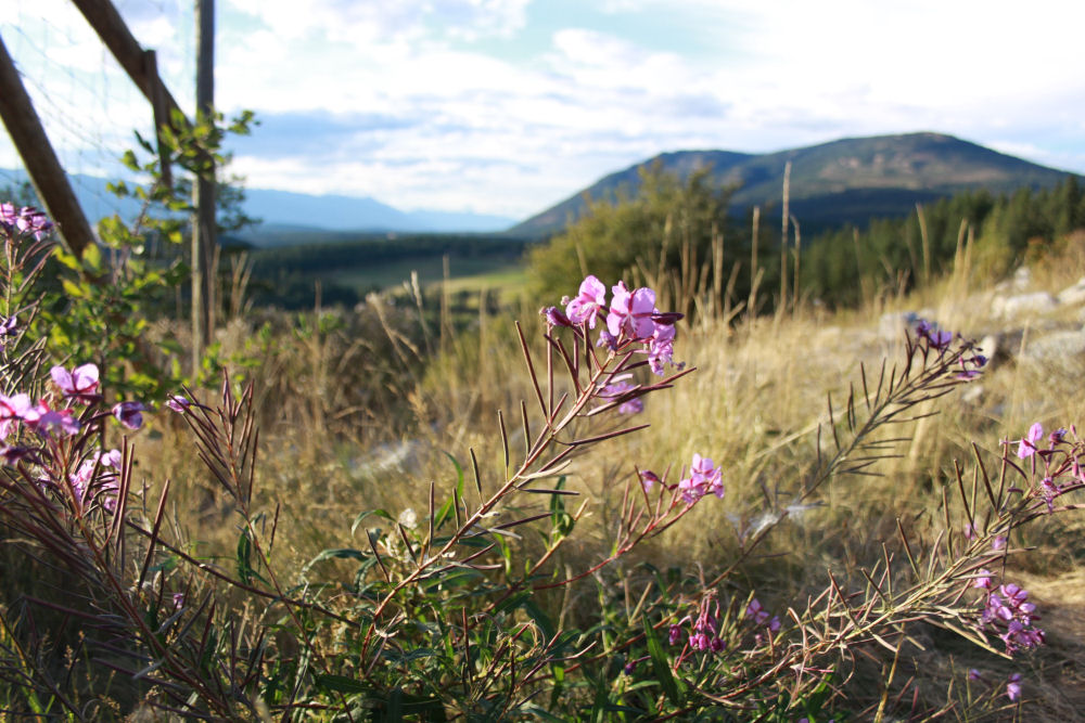 Fireweed, Deer Ridge Lookout, Idaho