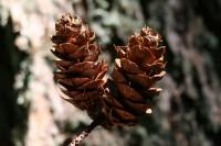 Douglas fir cones, Salt Spring Island, BC