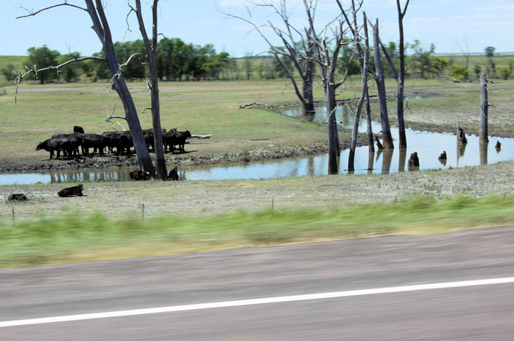 Cows cool off in the creeks along the highway, North Dakota
