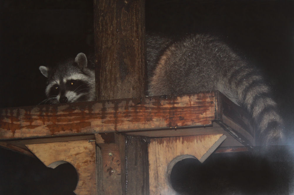 Raccoon caught eating from the bird feeders at night.