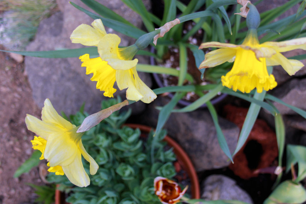 Welcoming old friends, the Daffodils
