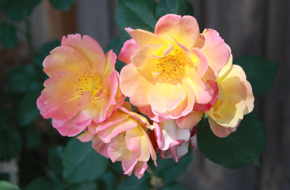 Roses, Hillsboro, OR