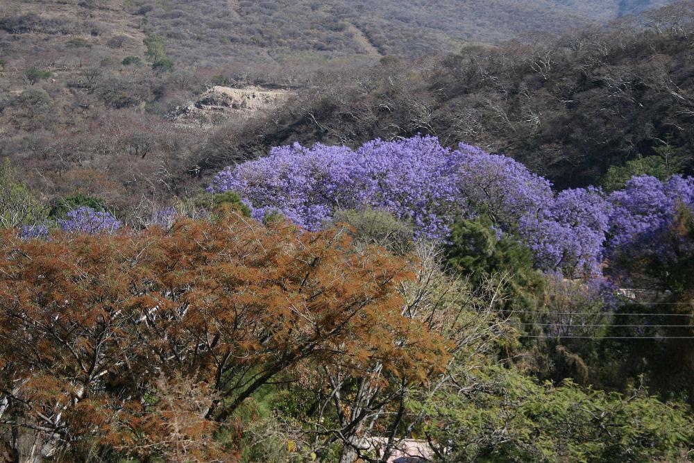 Jacaranda in landscape outside Guadalajara, Mexico