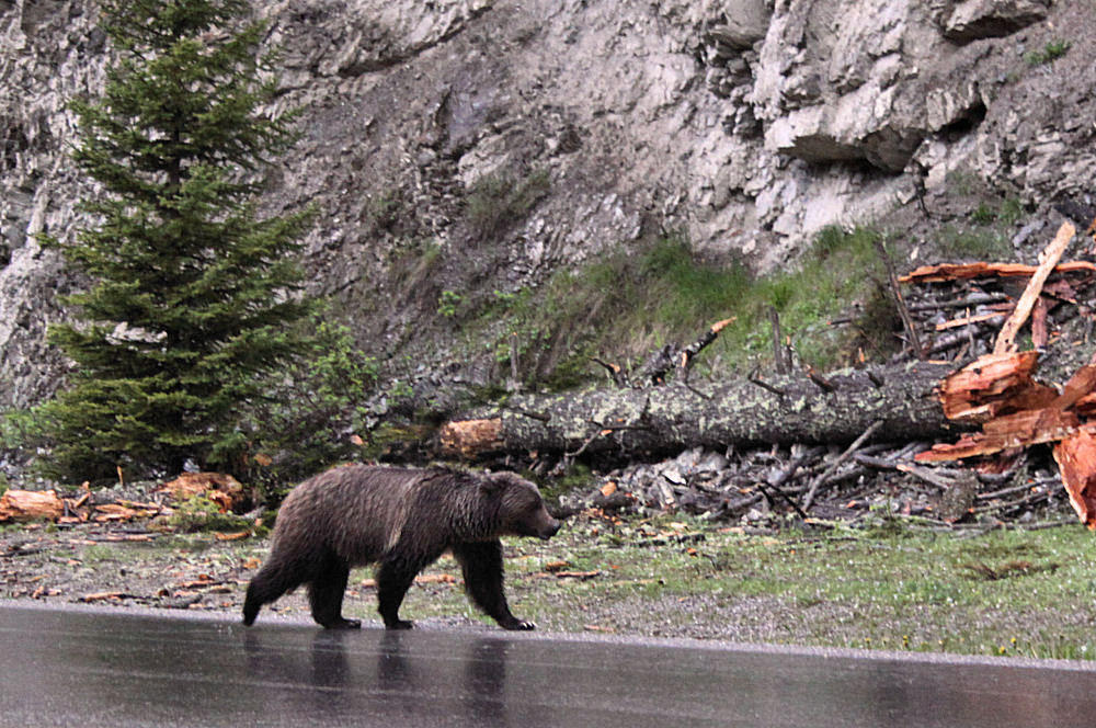 Grizzly sauntering along  Highway 93 near Radium Hot Springs,  Kootenay National Park, Alberta