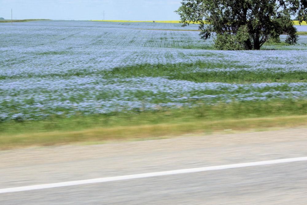 Driving by feilds and feilds of Flax, North Dakota