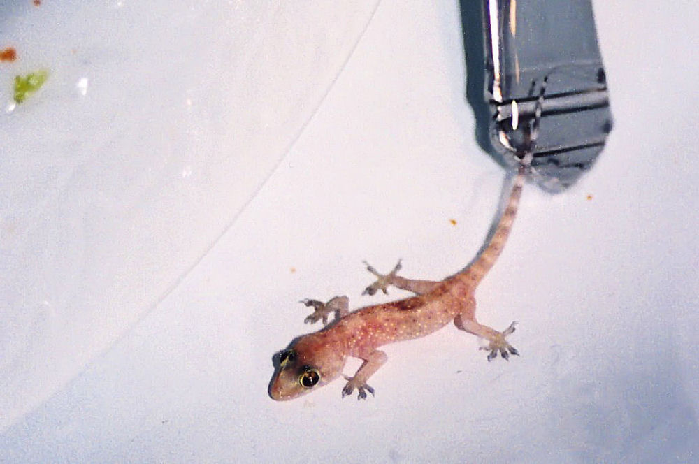 Little salamander in the kitchen sink