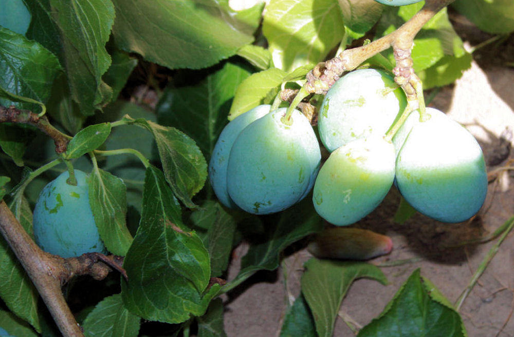 Teal colored unripe Plums, Hillsboro, OR