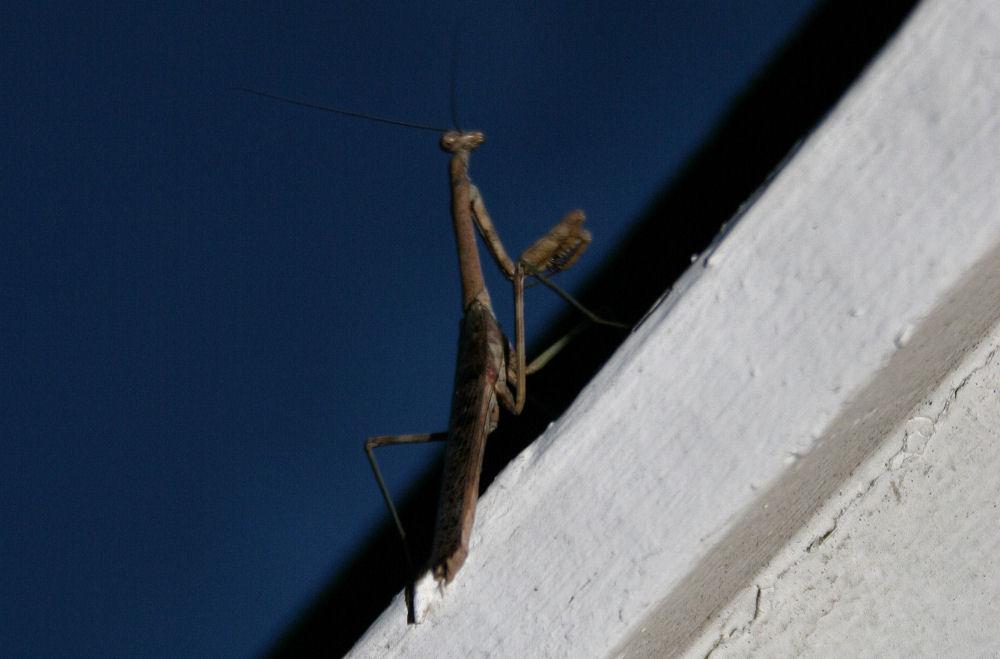 Praying Mantis, Kitty Hawk, Outer Banks, NC
