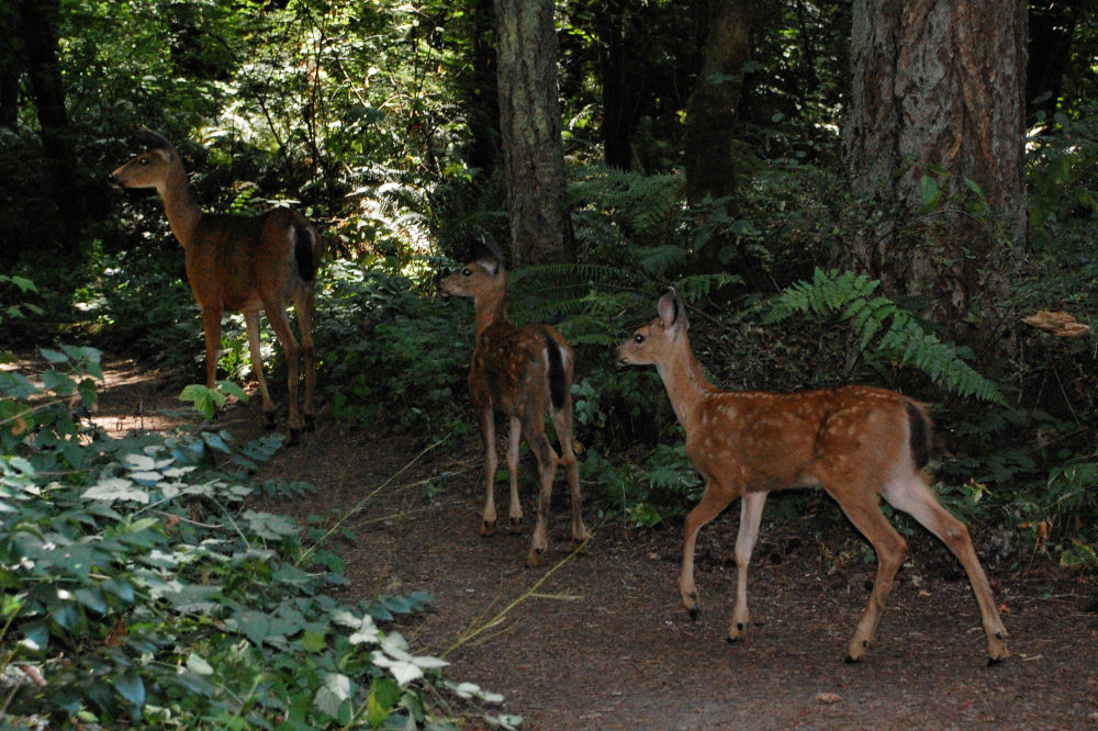 Doe and two fawns, Tualatin Nature Park, Beaverton, OR
