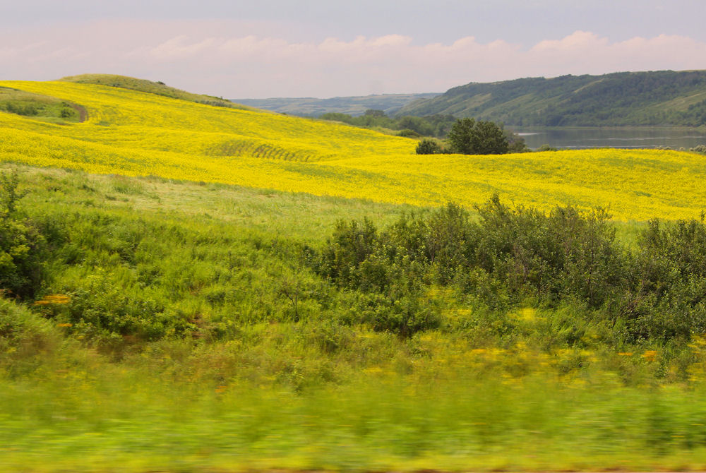 Canola fields by the North Saskatchewan River, Petrofka Bridge