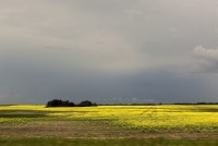 Canola field near Blaine Lake, Saskatchewan