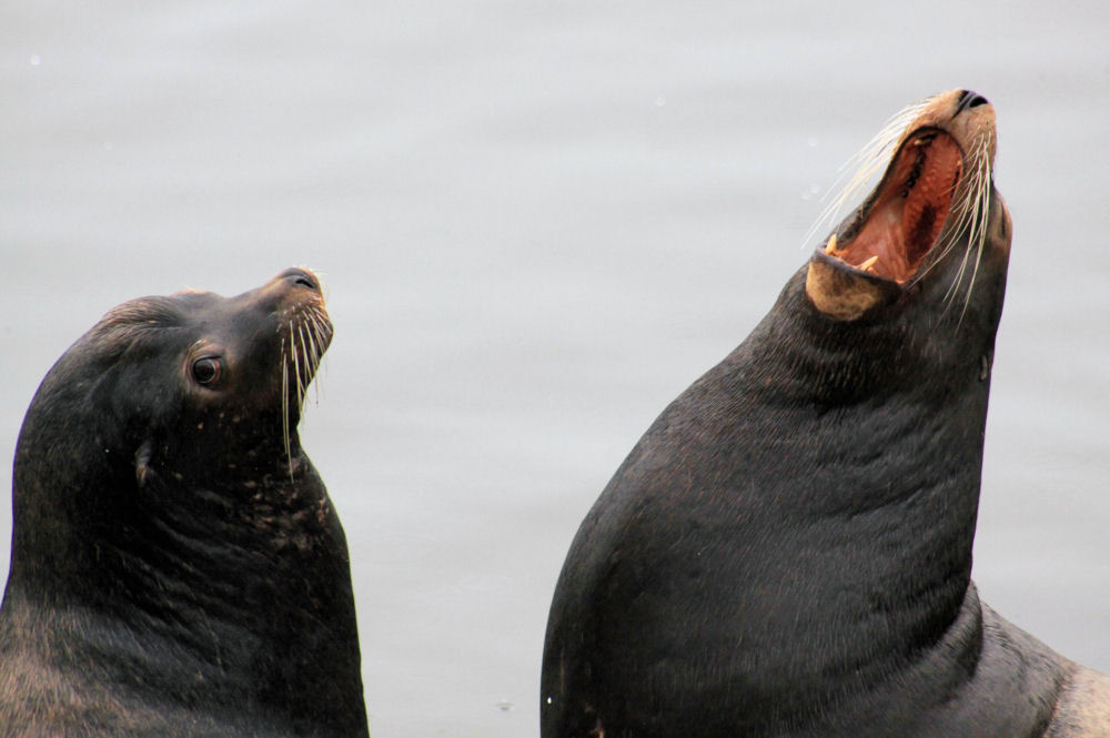 Sea Lions, Crescent City, CA