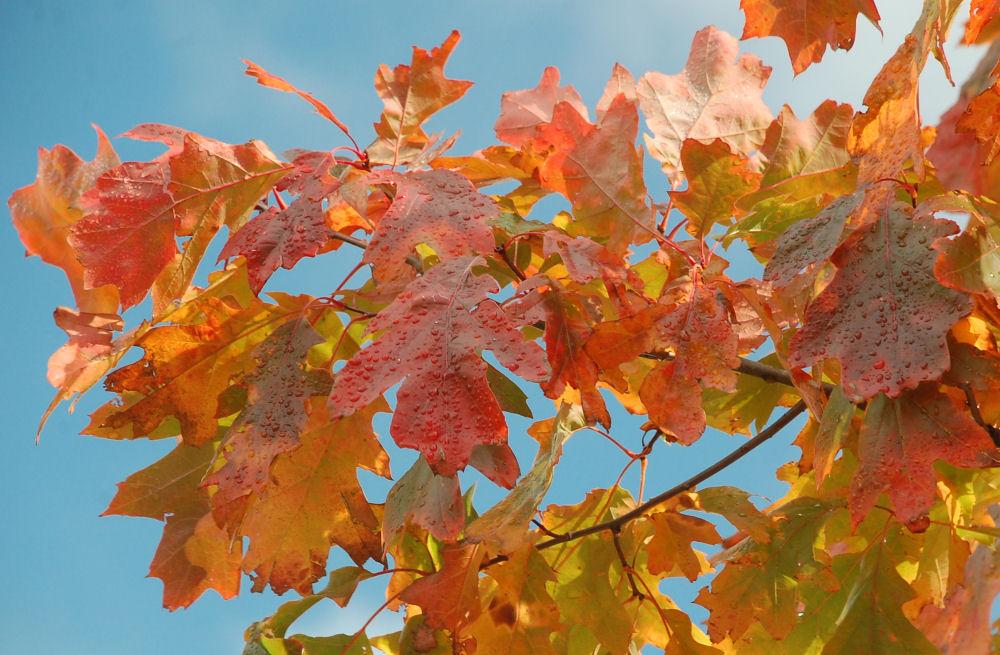 Oak leaves, Sainte-Agathe-des-Monts, Quebec