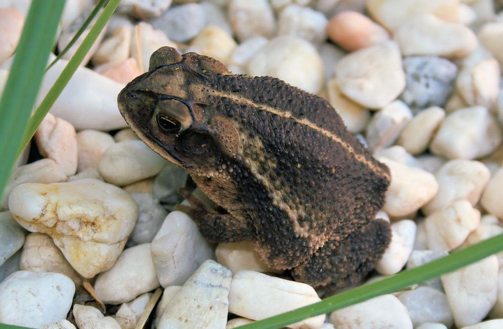 Garden toad, Lewisville, TX