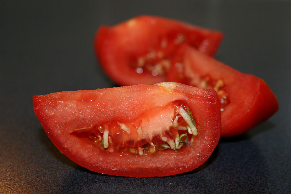 Tomato seeds sprouting inside the fruit