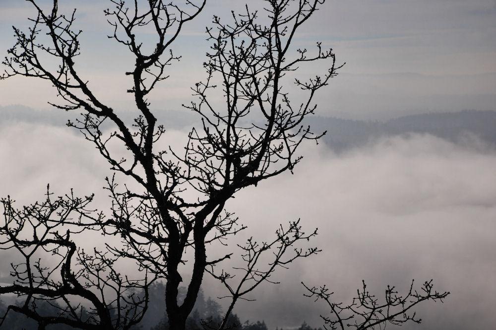 Gary Oak sillhouette, Mount Douglas, Victoria, Vancouver Island, BC