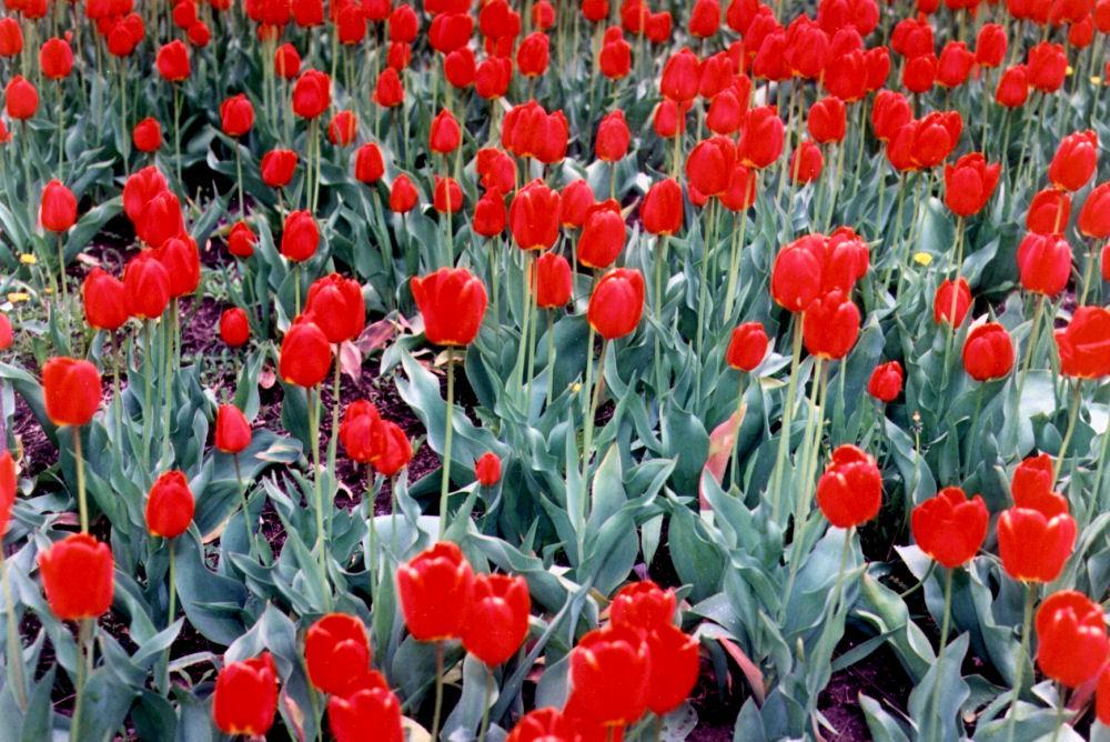 Masses of Tulips, Richmond, ON