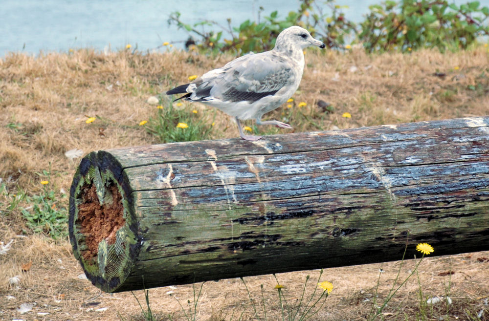 Seagull - log has heart-shaped core, Washington