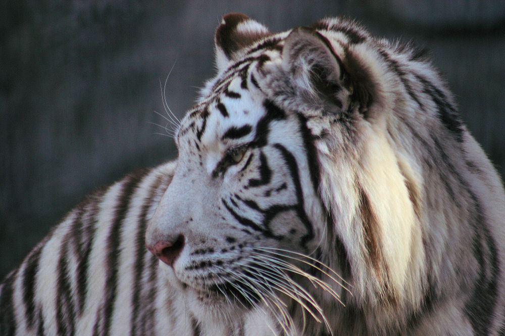 White Tiger, Fort Worth Zoo, Texas