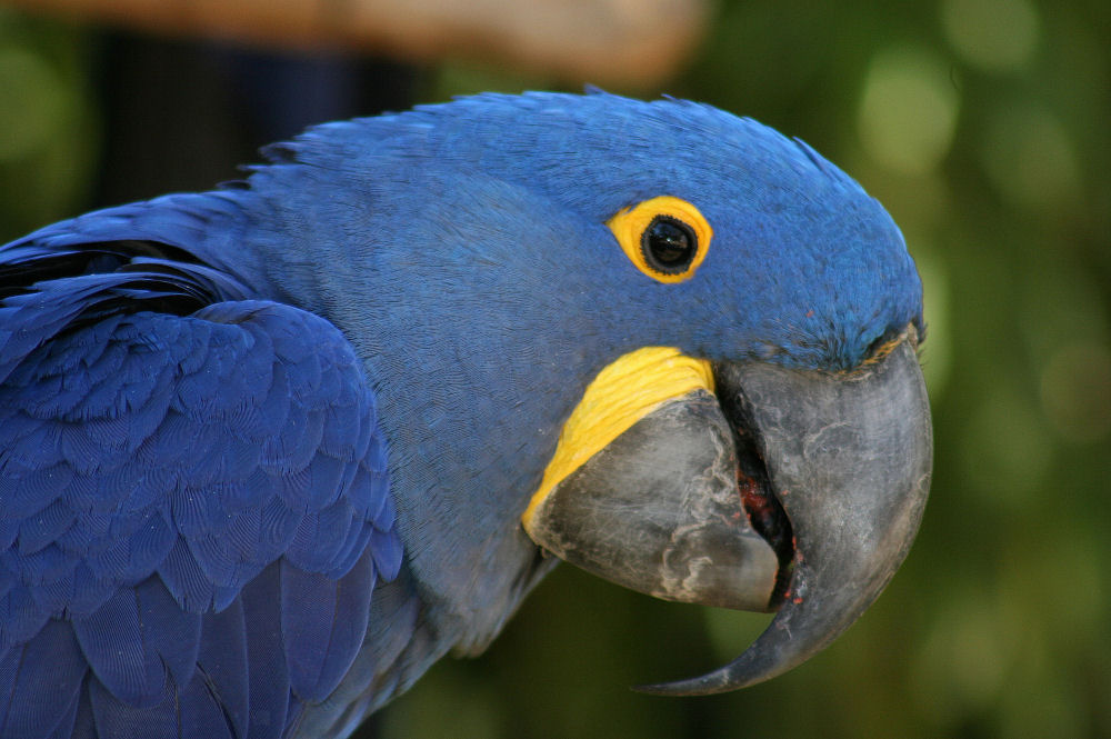 Blue Parrot, Fort Worth Zoo