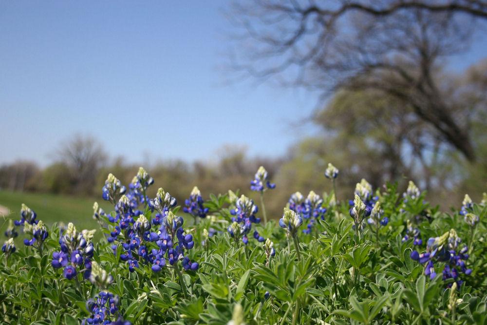 Bluebonnets, Coppell, TX