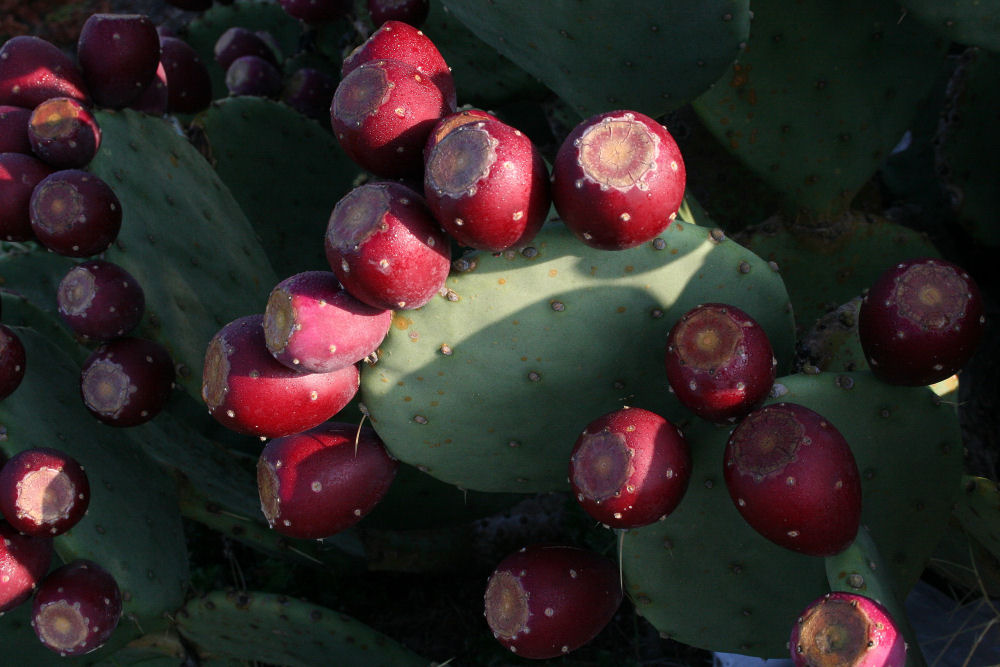Cactus pears, Outer Banks, NC