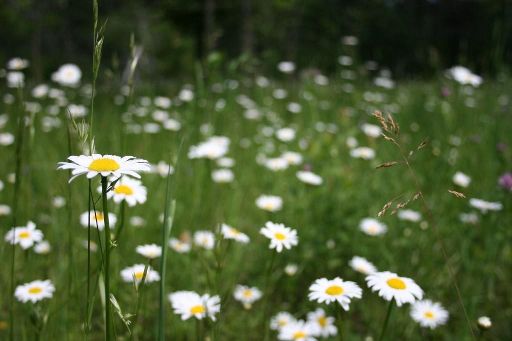 Daisies, Stony Swamp Trail, Ottawa, ON