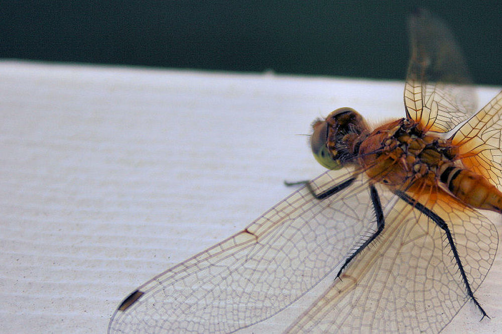 Dragonfly, Airdrie, Alberta