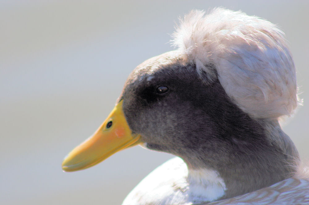 Duck coiffure, Andrew Brown Park, Coppell, TX