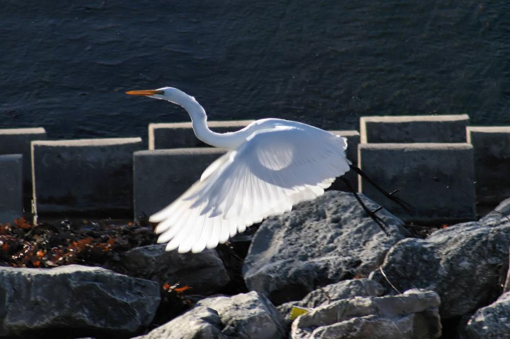 White Egret, Coppell, TX