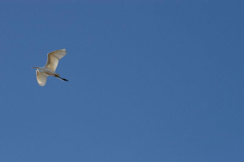 Egret, Coppell, TX