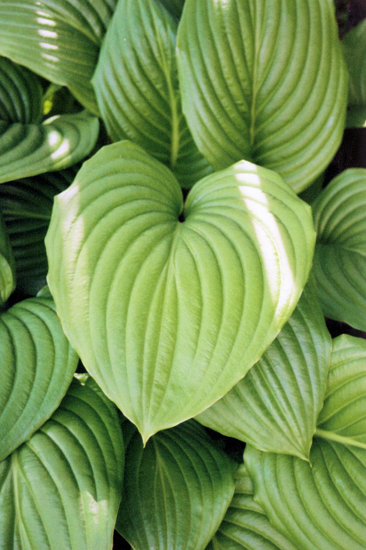 Hosta leaves, Kingston, Ontario