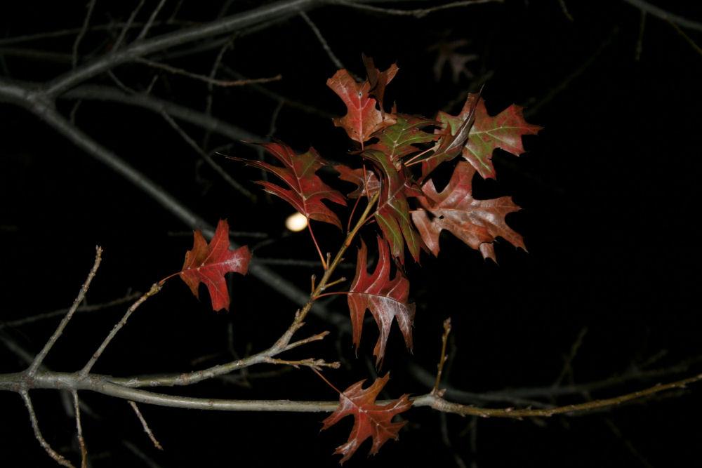 Full moon, Scarlet Oak, Lewisville, TX