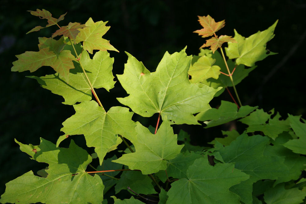 Maple leaves, Jones Falls, Ontario