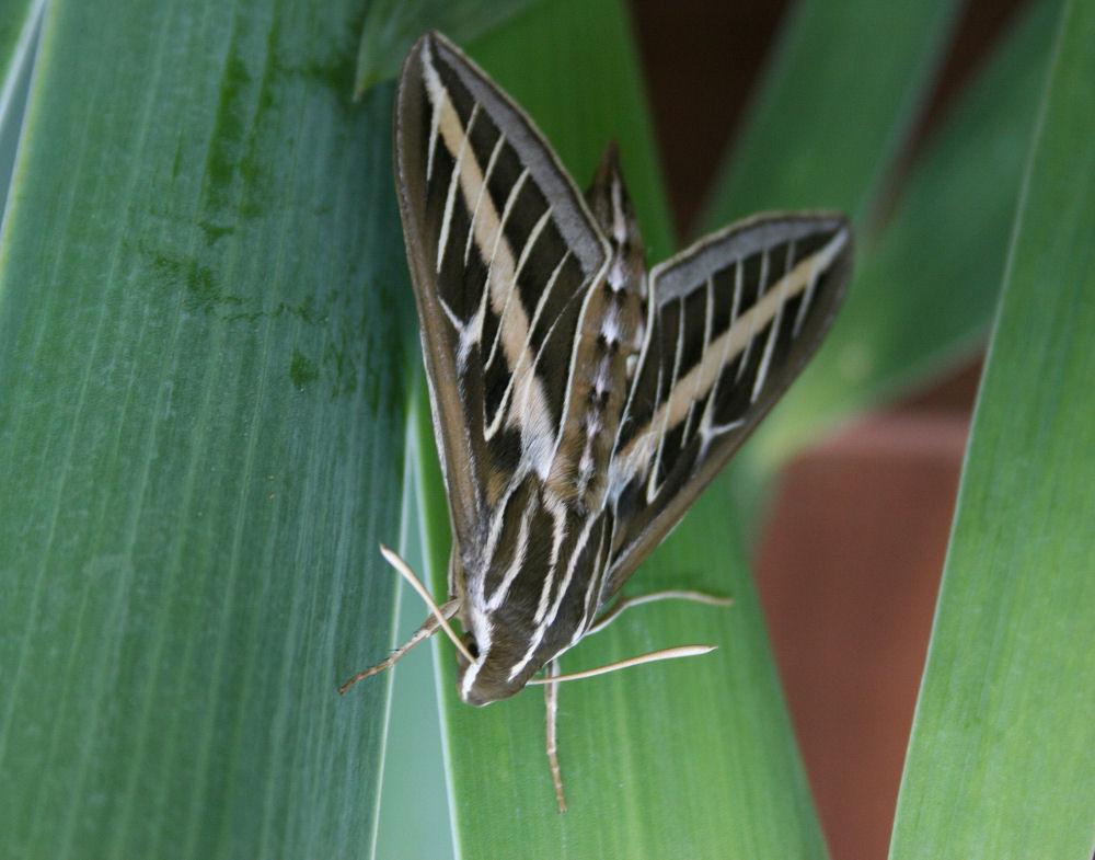 Large brown moth on Iris leaves