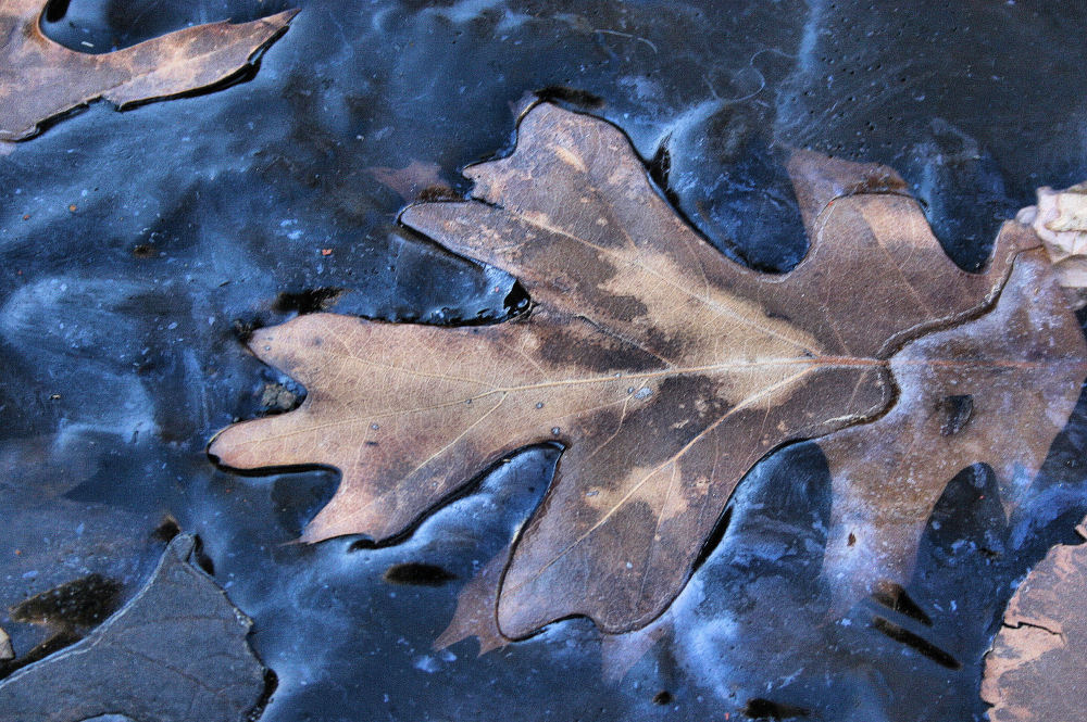 Oak leaf frozen in pond ice, Lewisville, TX