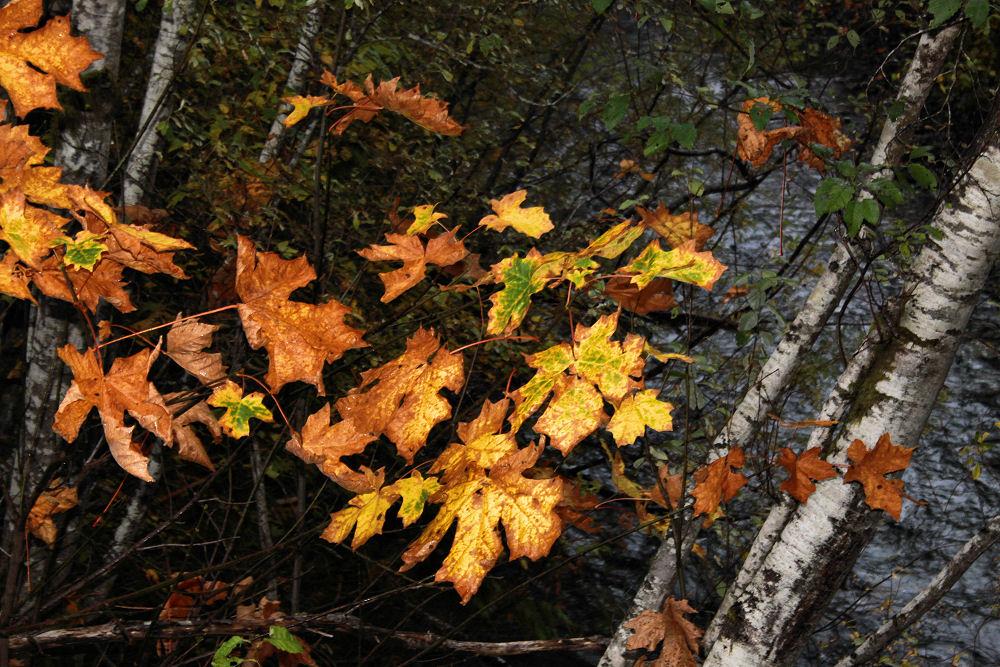 Bigleaf Maple and birch, Port Renfrew, BC northern Vancouver Island