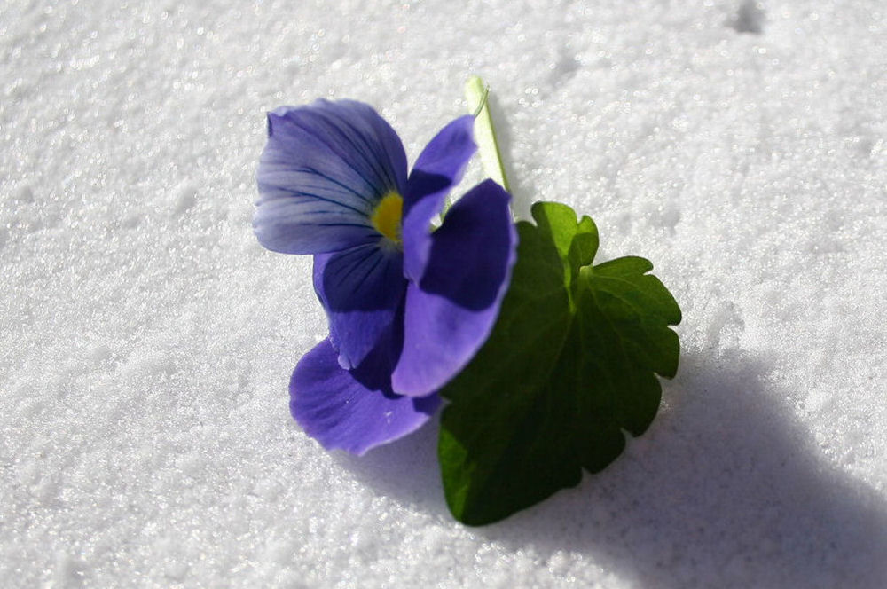 Pansy, first snow, Lewisville, TX