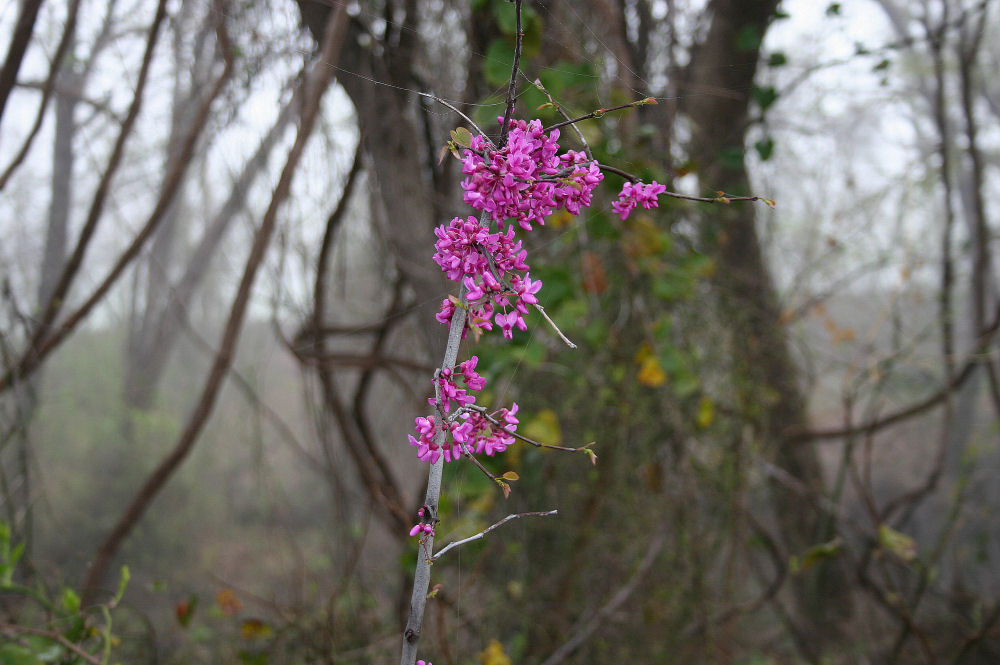 Redbuds, foggy Spring morning in Coppell, TX