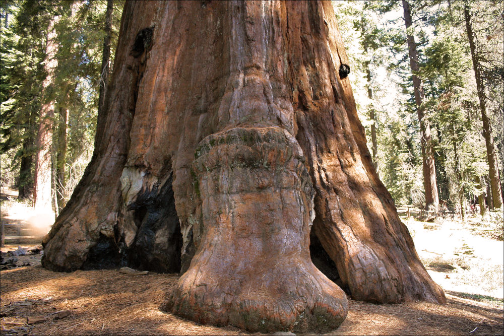 Sequoia National Park, Mariposa Grove, Sierra Nevada, California