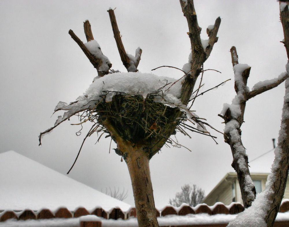 Snowy nest in our back yard