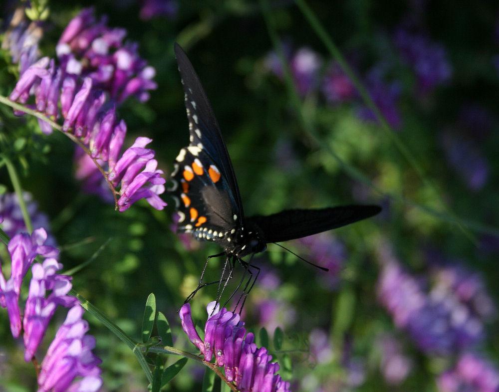Swallowtail, Coppel, TX