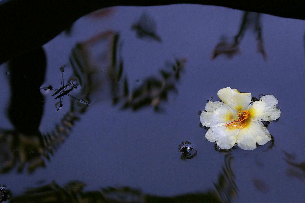 Waterstrider in Lewisville TX back yard pond