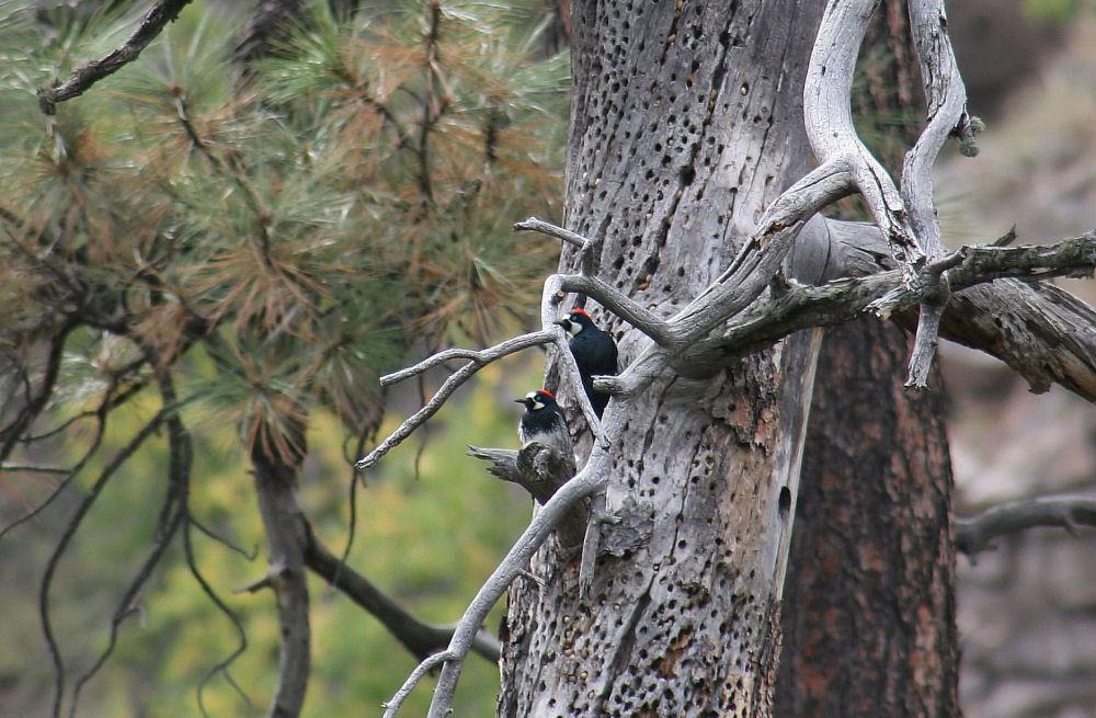 Woodpecker pair,Grand Canyon National Park, Arizona