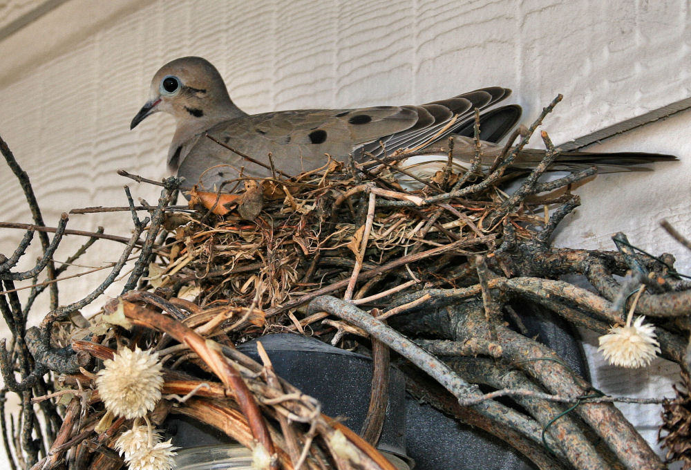 Dove nesting in the wreath beside the back door, Lewisville, TX