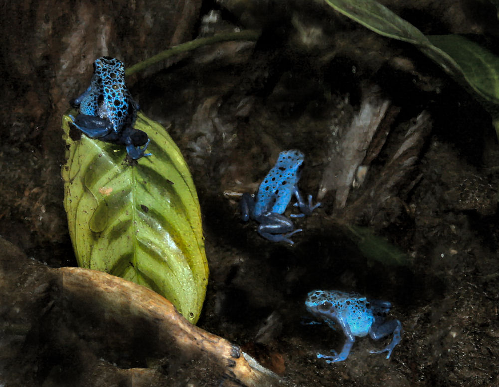 3 blue Poison Dart Frogs,  Dallas World Aquarium, Texas