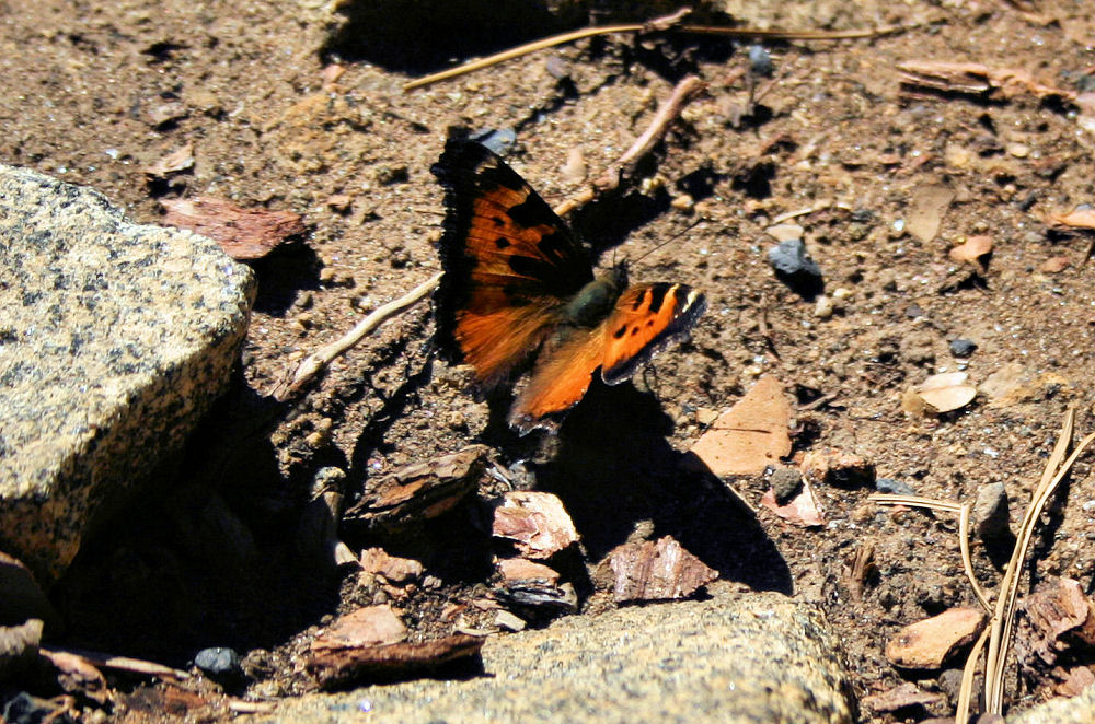 Butterfly, Yosemite National Park, California