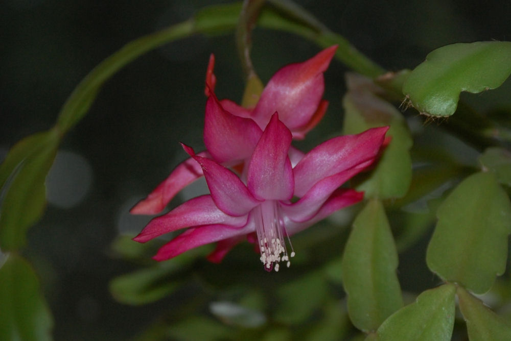 Christmas Cactus,  North Saanich, BC
