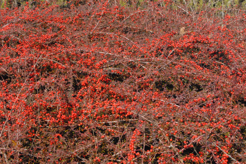 Cotoneaster - Bearberries ground cover, Rood Bridge Park, Hillsboro OR