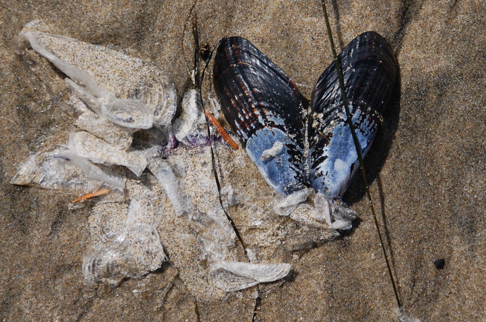 Mussel larvae in the veliger stage have shed their translucent shells. Mature mussel shown, Oceanside beach, OR